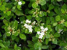 Mrs. Schiller's Dwarf Viburnum Mrs. Schiller's Dwarf viburnum is a tough, but beautiful native plant perfect for any garden. It makes a smal...