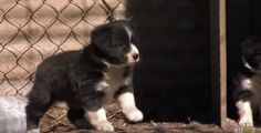 A mix of beauty, brains, charm and also an incredible amount of heart that makes the Border Collie a wonderful and remarkable companion as well as a working dog. While herding might be a natural instinct for Border Collies, still they should learn how to herd somewhere! Watch and enjoy as these incredibly adorable and charming Border Collie pups learn how to ruffle some …