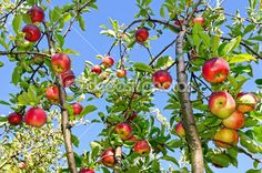 jablka na větvi - Hledat Googlem