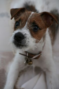 Cute Jack Russell - that face!!