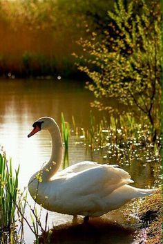 Big Bird Swan by the pond with Mother Nature. Beautiful Swan, Beautiful Birds, Animals Beautiful, Cute Animals, Pretty Birds, Love Birds, Cygnus Olor, All Gods Creatures, Swan Lake