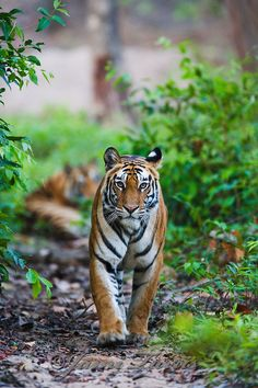 On Drinking Tiger Vomit, guided imagery, finding the courage to have another baby (?), and impossible things Jungle Life, Tiger Pictures, Drinking, Wildlife, Animals, Counseling, Floors, Spiritual, Baby