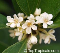 in my greenhouse:  Osmanthus fragrans - Sweet Olive