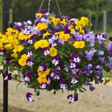 FREEFALL TRAILING PANSY 20 SEEDS FOR POTS & HANGING BASKETS THEY ARE STUNNING
