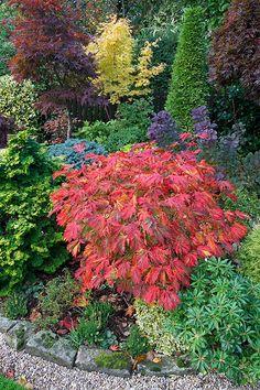 Autumn Acer Japonicum aconitifolium 'The Fern Leaf Full Moon Maple' ' | by Four Seasons Garden