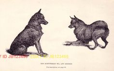 DOG+Schipperke+Dogs,+Antique+1890s+Rotogravure+Print+