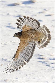 ..Hawk (Red Shouldered) - 0041 by Earl Reinink, via Flickr..