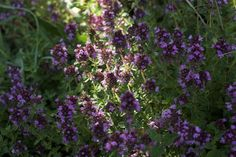 "Plant thyme to attract bees. Thyme You know this as a go-to herb in your spice cupboard, but the small flowers on thyme are very attractive to bees. Thyme grows low; try the variety ""Mother of Thyme"" for a great ground cover that will make the bees happy and be useful to you as well."