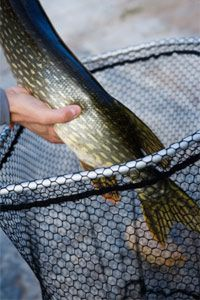 """Another article that lists several techniques for hooking pike on the fly was hosted by HowStuffWorks.com! For more helpful pointers on catching pike read the following article titled """"Top 3 Pike Fishing Techniques""""!"""