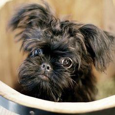 ROBIN I Love my Brussels Griffon「Belgian Griffon 4 personality」❤ #petstagram#dogstagram  #ilovemydog #friendlypets#doggy #happydog#flyingdog#doglove #dogoftheday  #instadogs #ベルジアングリフォン#dogofthedayjp #puglove #griffonsmile#griffon #blackdog#happysmiledog #griff#犬バカ部 #griffonbelge#instadog#黒犬 #brusselsgriffon #犬オフ会#dogdog #BelgianGriffon#petstagram