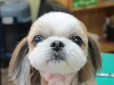 Nice Shih Tzu's face after grooming.