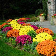 Ground Cover Chrysanthemum Bonsai – TrendingProductsBlvd Garden Mum, Autumn Garden, Lawn And Garden, Dream Garden, Garden Path, Shade Garden, Garden Oasis, Big Garden, Family Garden