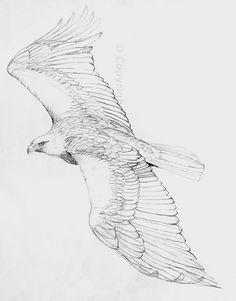pencil drawings of eagles   Eagle Drawings Pencil http://the-hazel-tree.com/2013/04/13/an-eagle ...: