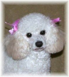 toy poodle | white tiny toy poodle | Dogs | Pinterest ...