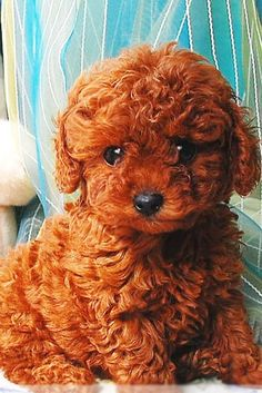 Poodle puppy.....one day :) OH MY SWEET DIVA GIRL!!!