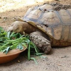 This article will tell you everything you need to know before you get your new pet Sulcata tortoise! Also referred to as African spurred tortoises, these reptiles make great pets and companions, but require a significant amount of preparation and care. Tortoise House, Tortoise Habitat, Turtle Habitat, Baby Tortoise, Sulcata Tortoise, Tortoise Care, Tortoise Turtle, Outdoor Tortoise Enclosure, Red Footed Tortoise