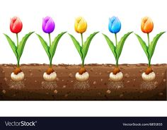Tulips in different colors Royalty Free Vector Image Free Vector Images, Vector Free, Preschool Classroom, Kindergarten, Cartoon Flowers, Color Vector, Vintage Flowers, Adobe Illustrator, Different Colors