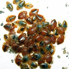 How to get rid of bed bugs naturally? Eliminating bed bugs is complex.But many ways to kill bed bugs.To treat bed bug bites & itching rashes,Sprays & creams Bed Bugs Treatment, Termite Control, Pest Control, Perth, Ottawa, Bed Bug Control, Rid Of Bed Bugs, Bed Bug Bites, Insects
