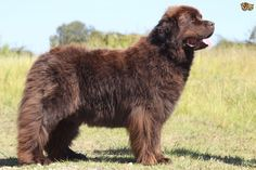 The large and lovely Newfoundland dog | Pets4Homes