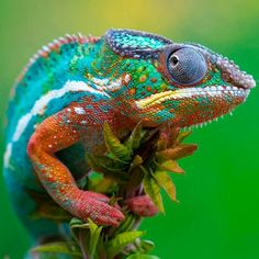 Colorful Panther Chameleon #nature