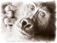 Gorilla, Uganda (by Michael Poliza)
