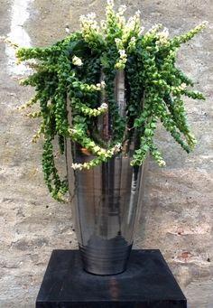 HOYA IN ECRI LIVING PLATINA VASE  www.facebook.com/pages/Krijnen-wealth-of-flowers/1409308935965781