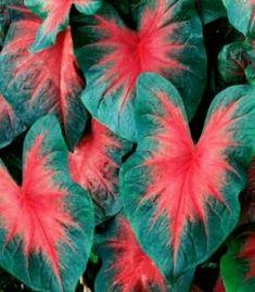Como Cuidar da Planta Caladium
