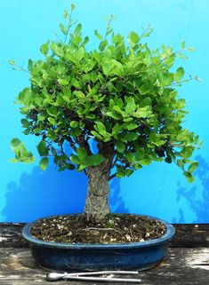 Cura e mantenimento del bonsai: posizione, annaffiatura, potatura, rinvaso.