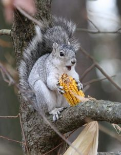 "Squirrel:  ""Oh Boy! Corn-on-the-cob!  It was kindly given, I did not rob!"""