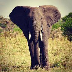 Lovely ele.. Serengeti Migration Camp Image credit: @hincey