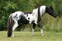 The little Pintaloosa stallion takes my breath away!!