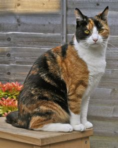 Regal Calico Cat . . . I need a calico cat.  I have never had one before.