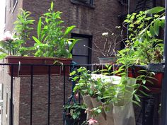 My NYC fire escape garden.