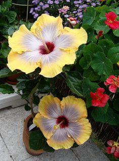 hibiscus rosa sinensis                                                                                                                                                                                 More