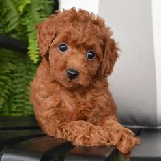 Toy Poodle Puppies, Toy Poodles, Non Shedding Dogs, Toys Online, Cute Toys, Goldendoodle, Teacup, Doggies, Fur Babies