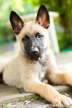 9 weeks old malinois puppy Zino