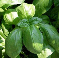 Fresh Basil, Fresh Herbs, Basil Tea, Basil Pesto, Pruning Basil, Herb Garden, Home And Garden, Porch Garden, Spring Garden