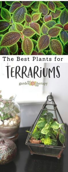 Great plants for terrariums that will fit on your desk or coffee table.