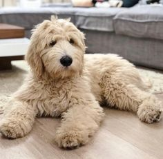 Puppies And Kitties, Cute Puppies, Doggies, Cute Dogs, Labradoodles, Goldendoodles, Cute Funny Animals, Funny Dogs, Cavapoo Puppies