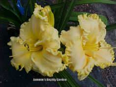 Photo of Daylily (Hemerocallis 'Tree of Gascone') uploaded by Joy