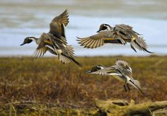 Northern+Pintail+(1+of+1).jpg 1,600×1,112 pixels