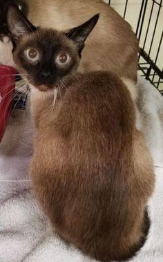 Gem Siamese Cat For Adoption In Lees Summit Missouri Cat
