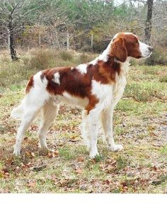 irish red and white setter - Google Search