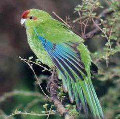 Kakariki (Red Crowned Parakeet) - Endemic Native NZ Bird