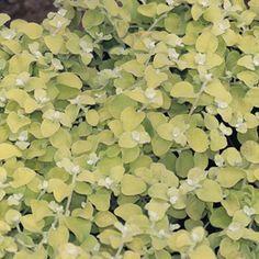 Helichrysum Lemon Licorice from Proven Winners