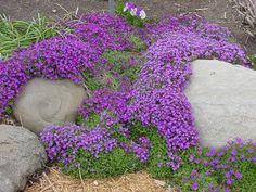 Aubrieta Seeds - Cascade Purple - Deer Resistant Superb perennial ground cover,dry banks, between flagstones, along pathways.Rock Cress plants are covered in stunning spring flowers. Rock Cress is a Rock Cress plants are covered in stunning spring. Cascading Flowers, Rock Flowers, Purple Flowers, Spring Flowers, Ground Cover Shade, Ground Cover Plants, Purple Plants, Sun Plants, Landscaping With Rocks