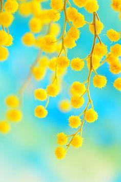 mimosa ~i by alexedg