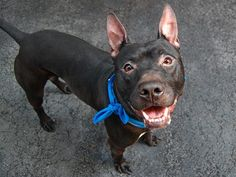 TO BE DESTROYED 9/7/14 Manhattan Center My name is VADER. My Animal ID # is A1012371. I am a male black and white pit bull mix. The shelter thinks I am about 5 YEARS old. I came in the shelter as a OWNER SUR on 08/30/2014 ***Contact a New Hope rescue to save VADER tonight!*** MISUNDERSTOOD MISUNDERSTOOD MISUNDERSTOOD ~ Owner says he likes kids ~ Housetrained ~ Knows several commands ~ Playful ~THIS PUP NEEDS A PATIENT HERO !!!!!!