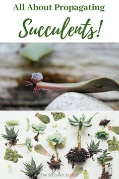 All About Propagating Succulents! Learn how to propagate succulents by division, stem cuttings and by a single leaf! The simolest way to grow your succulent collection with no $! :)  #succulentcare #succulentpropagation #succulentcuttings #divingsucculents