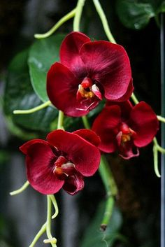 Red Orchids | Backyards Click